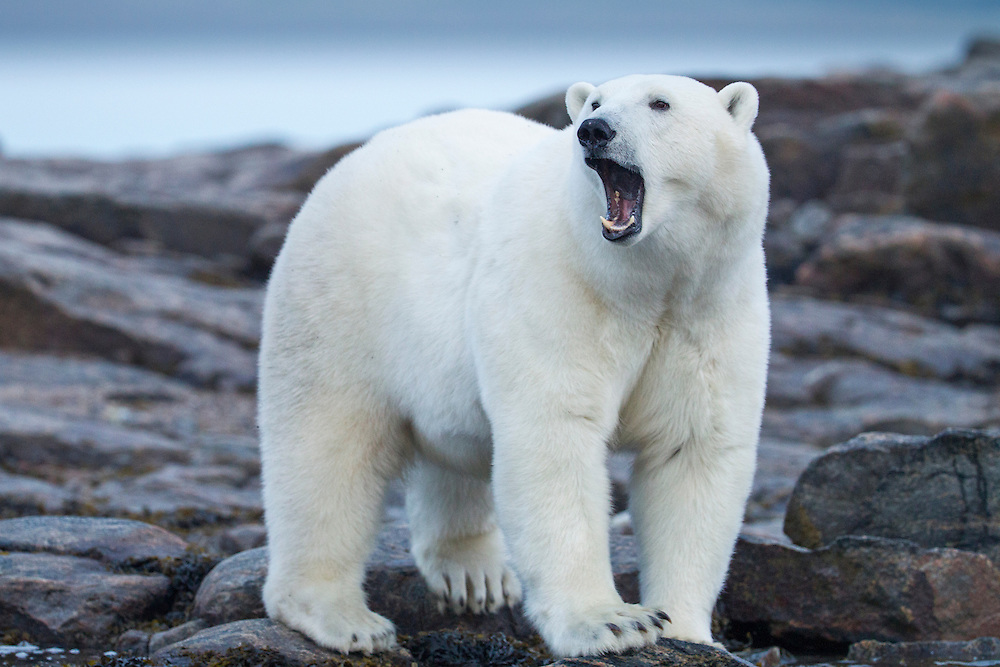 Canada, Nunavut Territory, Repulse Bay, Adult Male Polar Bear (Ursus maritimus) yawns while walking on rocky shoreline of Harbour Islands along Hudson Bay