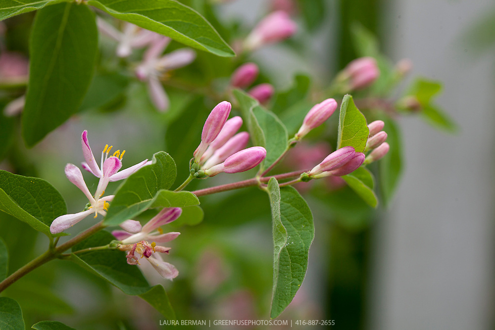 Lonicera tatarica is a species of honeysuckle known by the common name Tatarian honeysuckle. It is native to Siberia and other parts of eastern Asia, but it is probably better known in North America, where it is a widespread introduced species and noxious weed