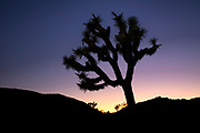 A Joshua Tree, unique to the Mojave Desert in southern California is silhouetted at sunset.