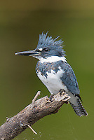Belted Kingfisher, Megaceryle alcyon<br />
