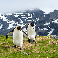 A pair of king penguins walks down a grassy hillside at Saint Andrews Bay on the north coast of South Georgia Island.