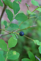 A Pacific Northwest delicacy! The black huckleberry is an important and nutritious food source for black and grizzly bears, which consume not only the berries but also other plant parts, as well as deer, elk, moose, and ruffed grouse. Commonly reaching 6 feet in height, it is common to understory shrub, dry to moist coniferous forests, and open areas. These were found growing in the Western Olympic Mountains of Washington in the Hoh Rainforest.