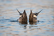 Northern Pintails, Anas acuta, male, Bosque del Apache NWR, New Mexico
