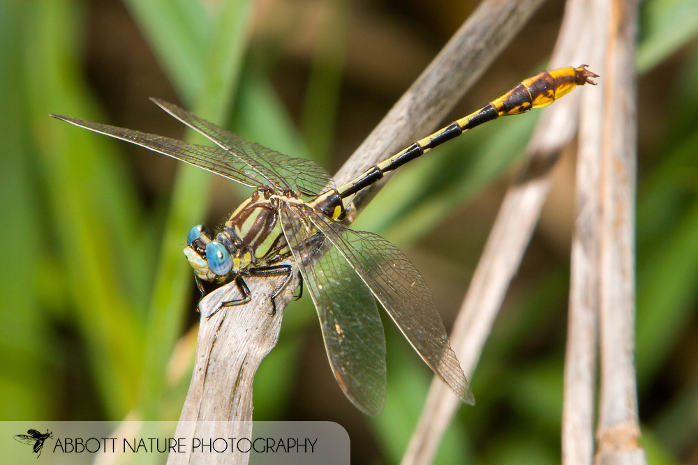 Sulphur-tipped Clubtail (Phanogomphus militaris) - male<br /> TEXAS: Gonzales Co.<br /> pond off Hwy 90, ca. 5 mi E of Waelder<br /> 7-June-2005N29.68436 W97.22071434 ft<br /> J.C. Abbott #2129