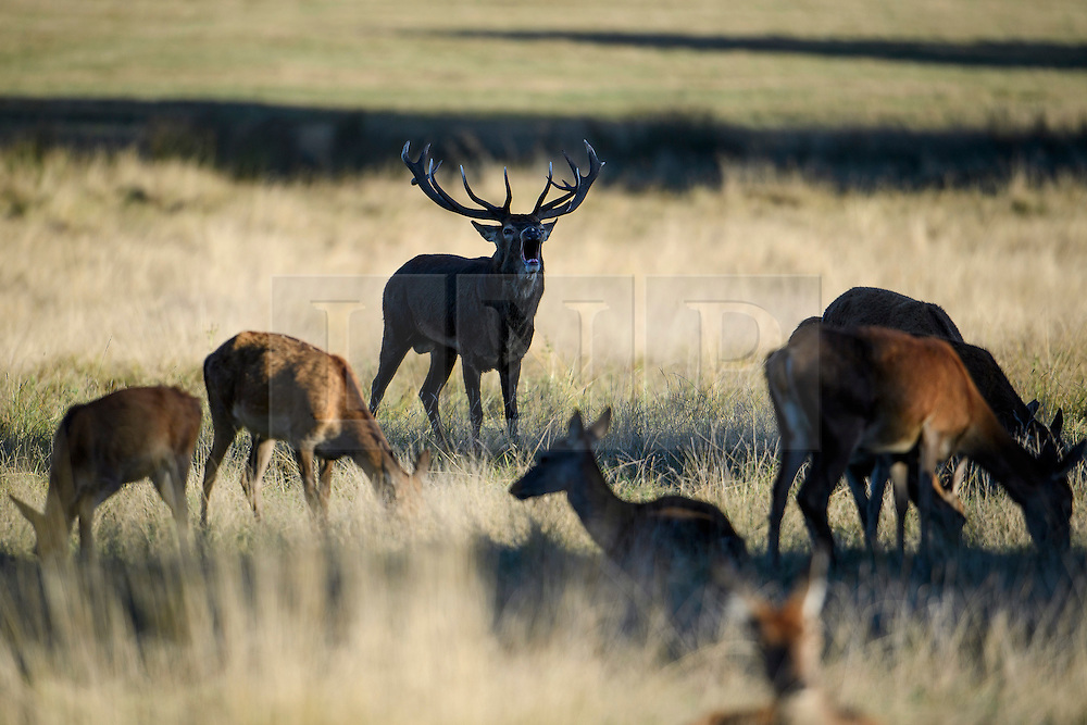 © Licensed to London News Pictures. 09/10/2016. London, UK. A deer stag roaring out on a bright autumnal morning in Richmond Park, London. . Photo credit: Ben Cawthra/LNP