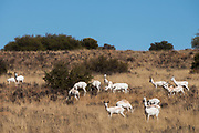 White Springbok (Antidorcas marsupialis)<br /> Private game ranch<br /> Great Karoo<br /> SOUTH AFRICA