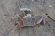 Jimbaran Beach. A beach running crab.