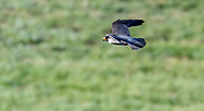 Peregrine falcon flying low after missed strike at prey, Greater Yellowstone Ecosystem, © 2019 David A. Ponton