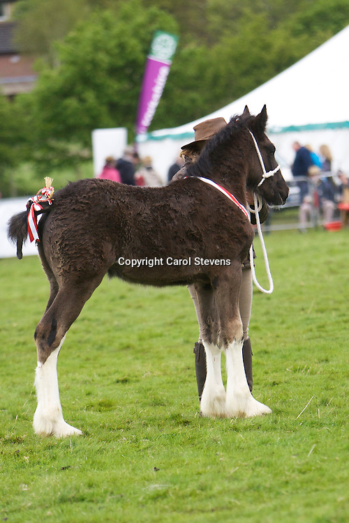 G H &amp; G Emmott's Currerwood Lucky Bob  f 2013     s  Knutsford Edward II   d Currerwood Mellisa<br />