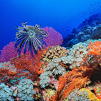 Crinoid and hard corals in Fiji
