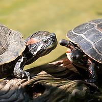Two turtles passing, traffic jam
