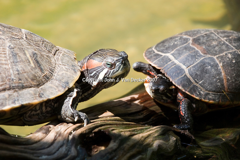 Two turtles passing, traffic jam