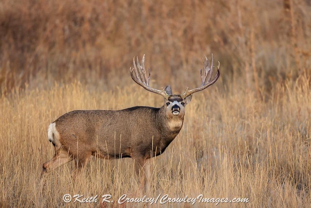 Trophy mule deer buck performs Flehmen response (lip curl) during the autumn rut.