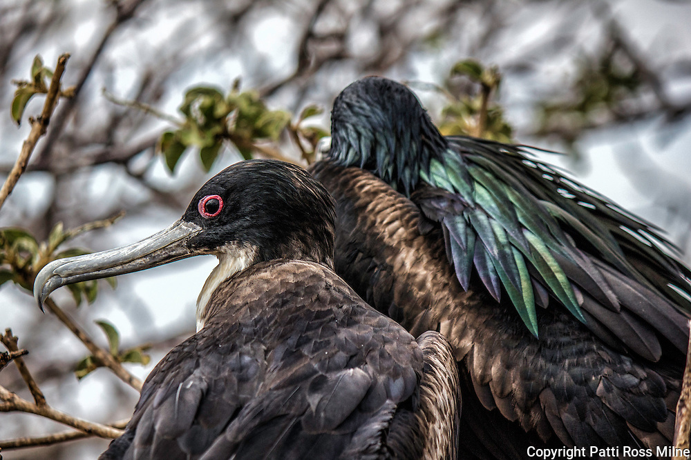 Two female Frigate birds in the Galapagos.