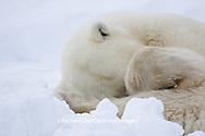 01874-11503 Polar Bear (Ursus maritimus)  sleeping Churchill Wildlife Management Area MB