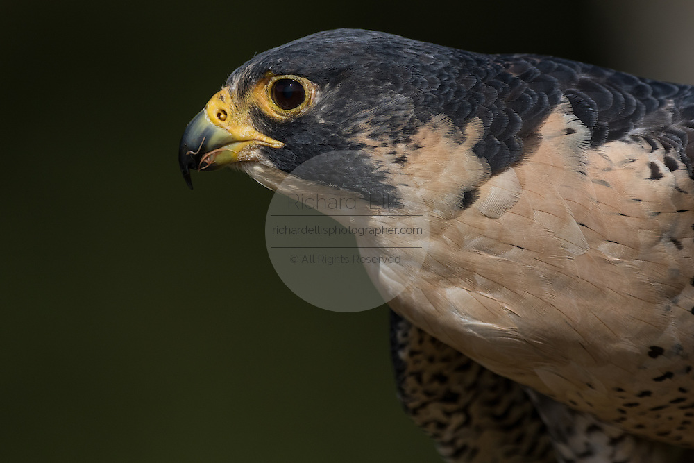 Peregrine Falcon in profile at the Center for Birds of Prey November 15, 2015 in Awendaw, SC.