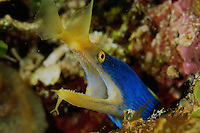 A blue ribbon eel, Rhinomuraena quaesita, occupying a hole in the reef.