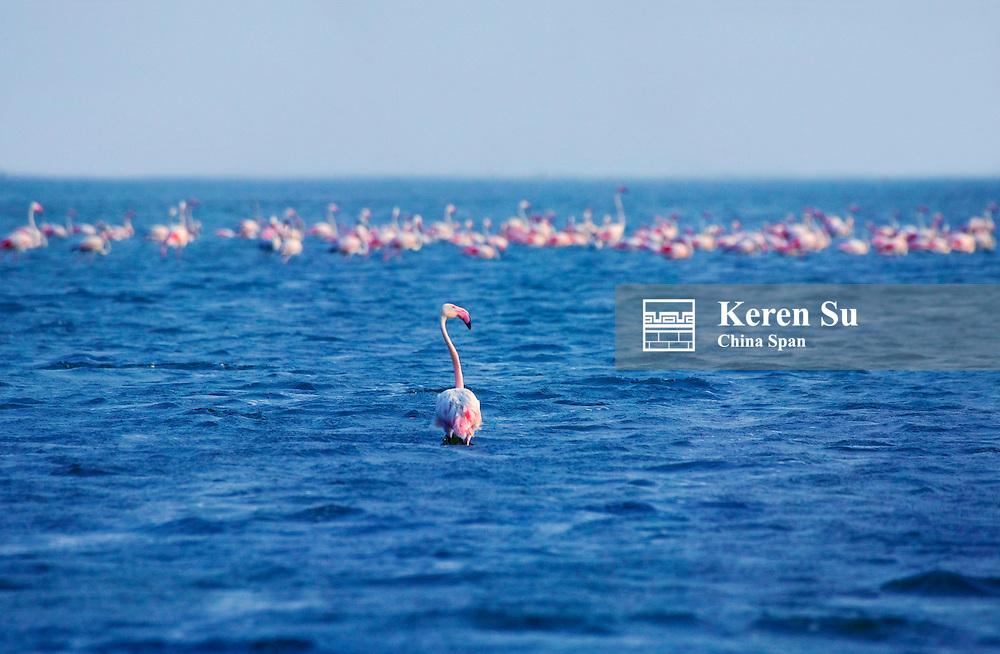 Lesser Flamingos (Phoeniconaias minor) on Lake Chilka, Barkul, Orissa