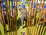 "28 AUGUST 2014 - BANGKOK, THAILAND:     A mahout selects a polo mallet for his player at the King's Cup Elephant Polo Tournament at VR Sports Club in Samut Prakan on the outskirts of Bangkok, Thailand. The tournament's primary sponsor in Anantara Resorts. This is the 13th year for the King's Cup Elephant Polo Tournament. The sport of elephant polo started in Nepal in 1982. Proceeds from the King's Cup tournament goes to help rehabilitate elephants rescued from abuse. Each team has three players and three elephants. Matches take place on a pitch (field) 80 meters by 48 meters using standard polo balls. The game is divided into two 7 minute ""chukkas"" or halves.  PHOTO BY JACK KURTZ"