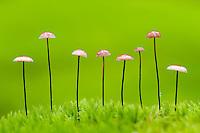 Horsehair Parachute, Marasmius androsacaceus mushroom, Pripiat, Belarus