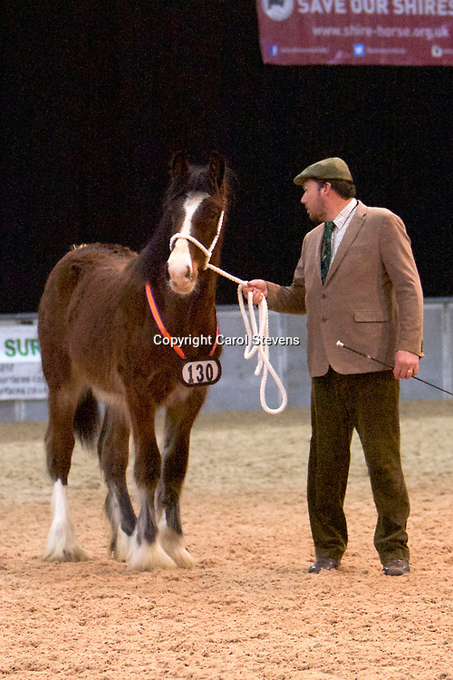 Shire Horse Society Spring Show 2017  Newcomers Handler Class