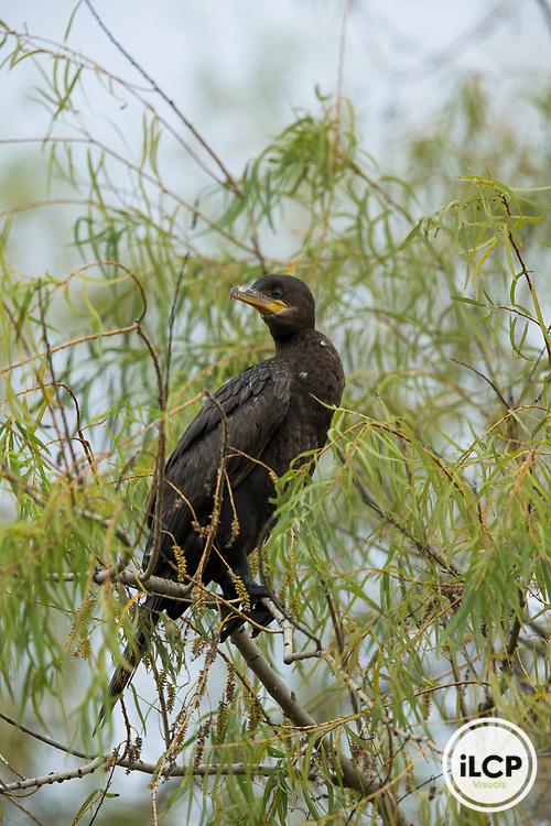 Neotropic Cormorant (Phalacrocorax brasilianus), Ibera Provincial Reserve, Ibera Wetlands, Argentina