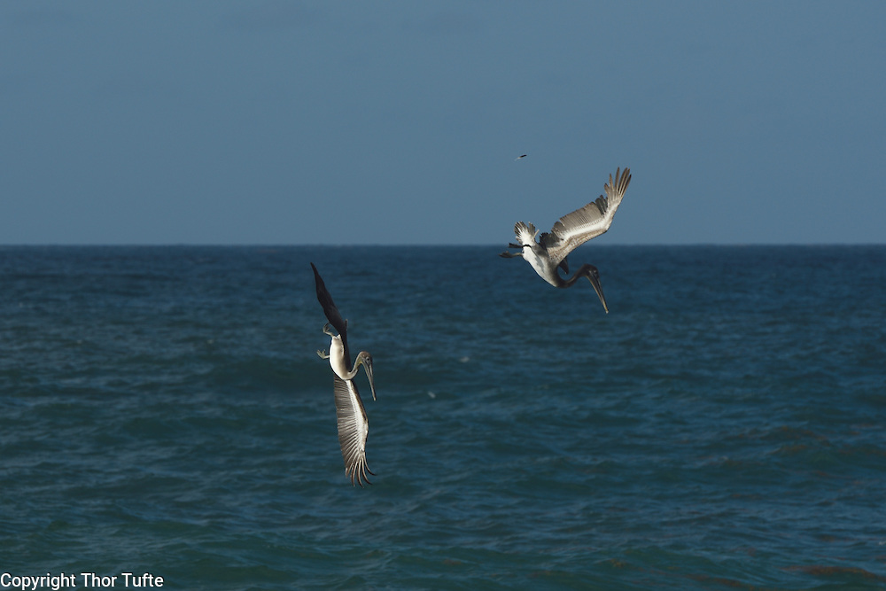 Brown Pelicans on the south coast of The Dominican republic.