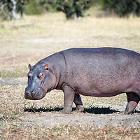 Inquisitive hippopotamus on land