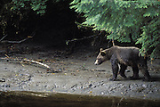 Grizzly Bear <br /> Ursus arctos<br /> Walking on bank of Glendale River<br /> Knight Inlet, British Columbia, Canada