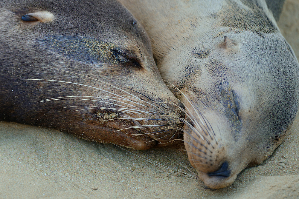 Galapagos sea lions, Zalophus wollebaeki, Galapagos islands National park, UNESCO World Heritage Site.