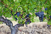 Merlot grapes ripe for harvesting from the vine in Bordeaux region of France