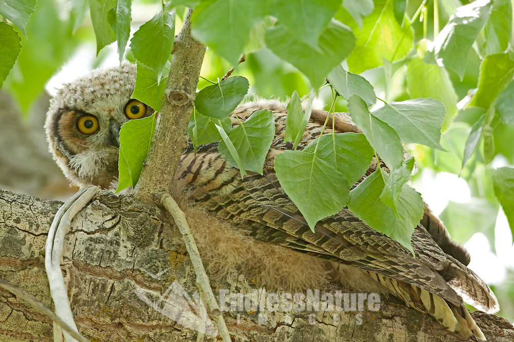 Owlets like the Great Horned Owls leave the nest and start crawling and walking the branches of the trees they nest in.