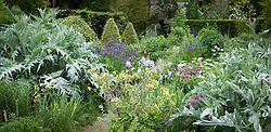 Border at Docwra's Manor with Anchusa azurea (Bugloss), Cynara cardunculus AGM (Globe Artichoke), Iris pallida subsp. pallida syn. Iris pallida var. dalmatica and Mathiasella bupleuroides 'Green Dream'