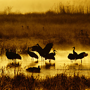 Sandhill cranes silhouetted against the warmth of sunrise.