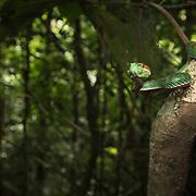 Pope's Pit Viper (Trimeresurus popeiorum) male in Kaeng Krachan national park, Thailand
