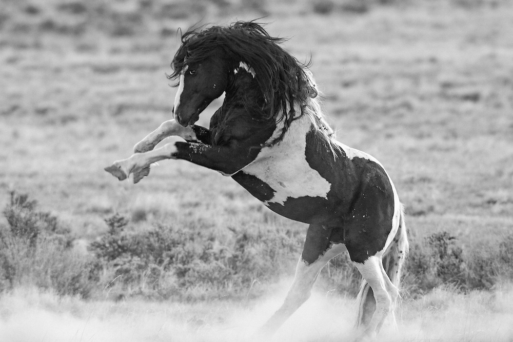 Washakie, a wild mustang stallion, is a fearless warrior, always ready to fight off any other stallion that approaches his mares.