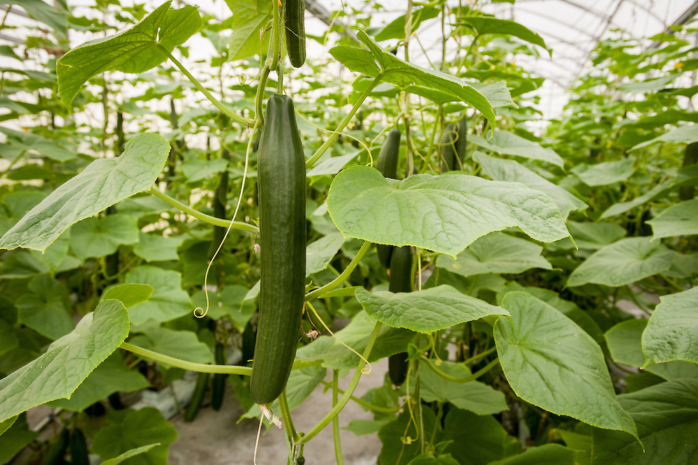 Hydroponic cucumber production in greenhouse in Cordova, Maryland, USA