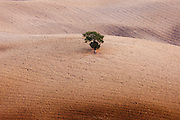 Lone tree in a Tuscan landscape near San Quirico D'Orcia  in Val D'Orcia, Tuscany, Italy
