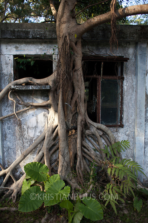 A tree wraps itself up and around an old vacated building near the Po Lin Monastery near Ngong Ping village.