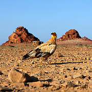 Egyptian vulture (Neophron percnopterus), Ras Dihamri Marine Reserve, Socotra island, listed as World Heritage by UNESCO, Aden Governorate, Yemen, Arabia, West Asia