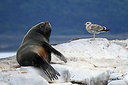 South American sea lions, <br /> Beagle Channel, Ushuaia, Tierra del Fuego, Argentina