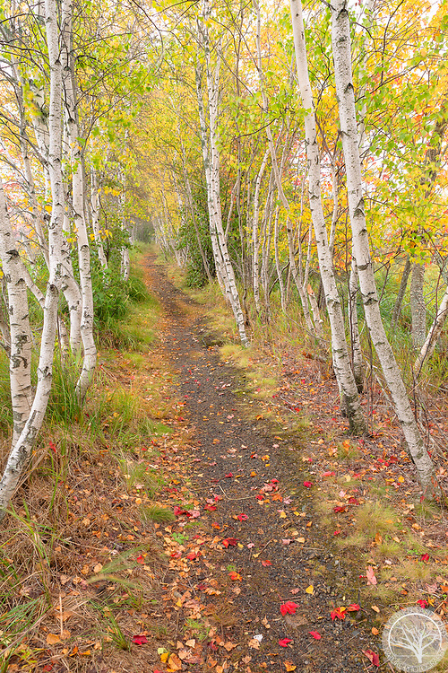Birch trees line a walking path in the woodlands of Sieur de Monts, Acadia National Park, Maine.