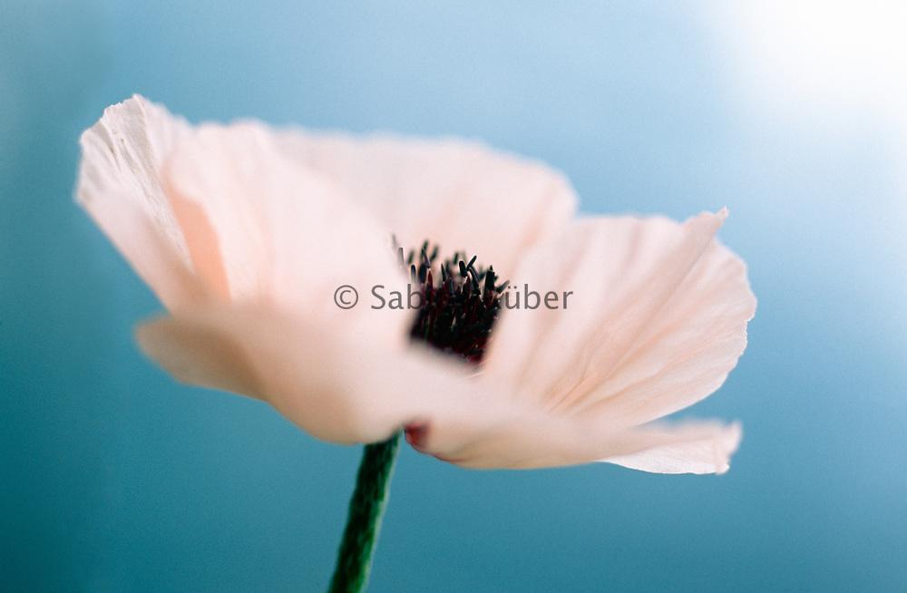 Papaver orientale 'Karine' - Oriental poppy