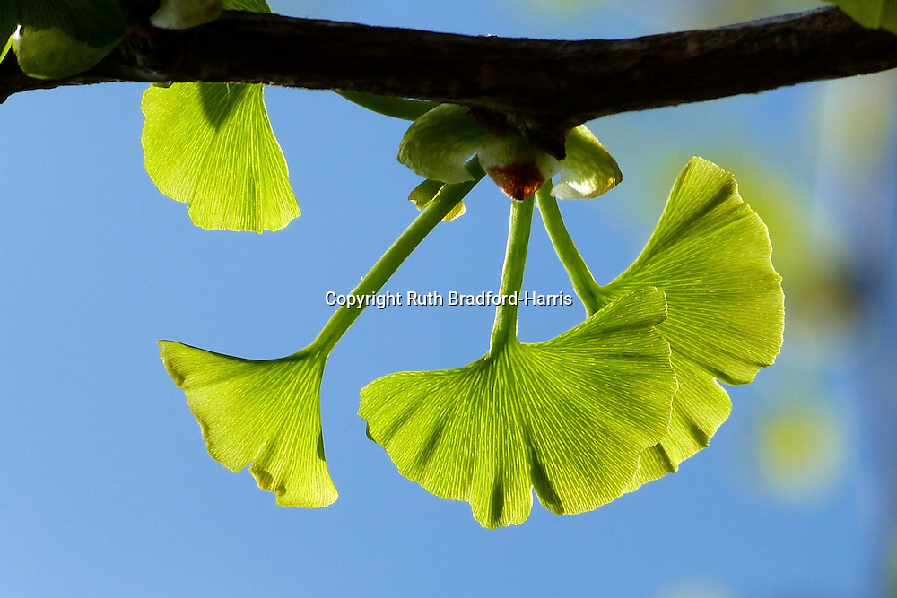 Exquisite fan-shaped leaves emerging on the branch of a Ginkgo biloba tree. The wonderfully frilled, fibrous, striated leaves in this photograph are only 0.5mm to 1.5mm across, photographed in situ, lit by morning sunlight, against a rich blue sky.<br />