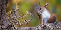 Eekhoorn; Red Squirrel; Sciuris Vulgaris