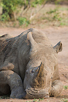 Head of relaxed rhino wildlife
