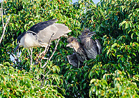 Black-crowned Night Heron (Nycticorax nycticorax)  perched in a tree with two young chicks, Jocotopec, Jalisco, Mexico