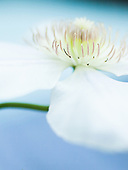 Clematis :: Gallery