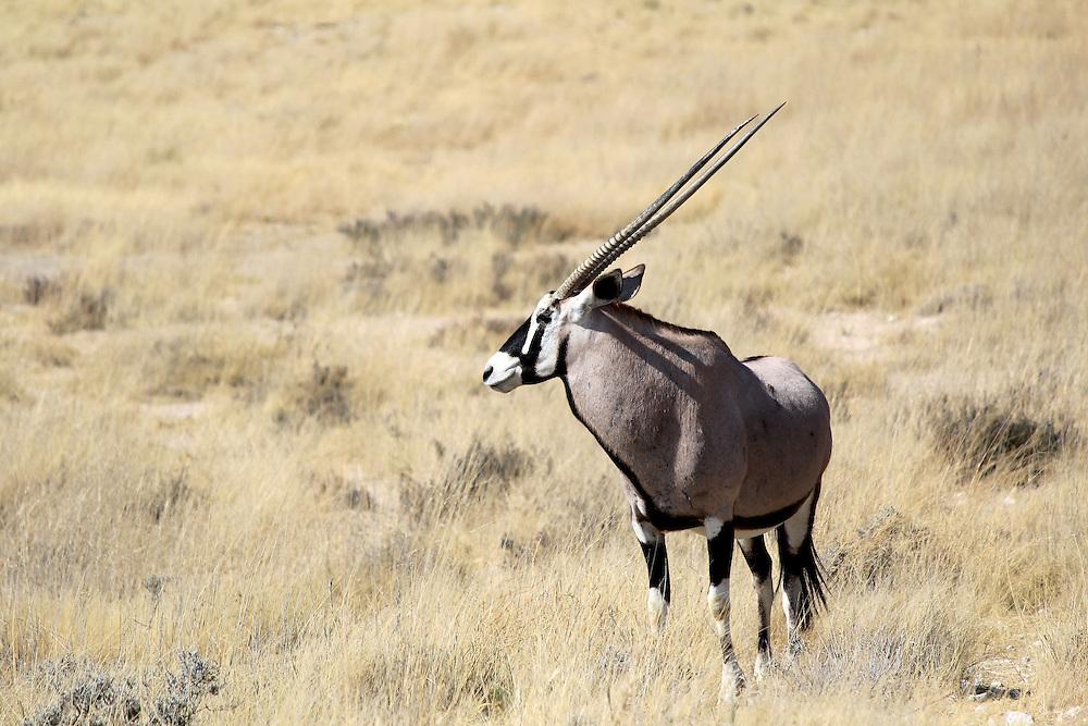 Gemsbok antelope, Etosha National Park, Namibia, Southern Africa