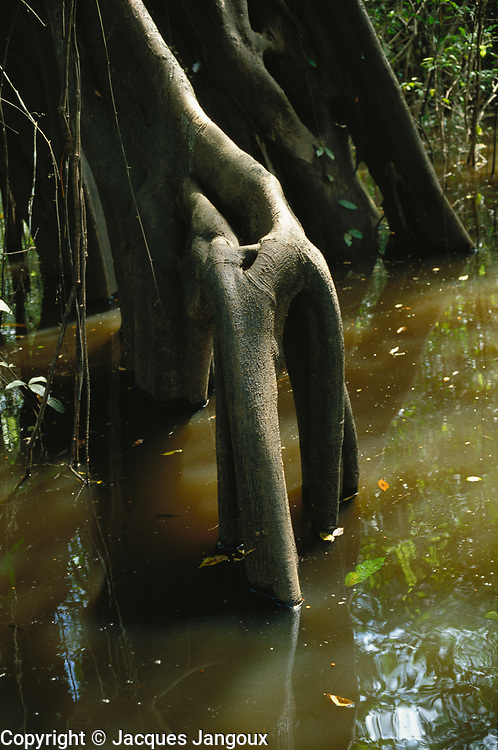 Thick stilt roots of tree in swamp forest (mata de igapó) in Mamirauá reserve in Amazon region, Brazil